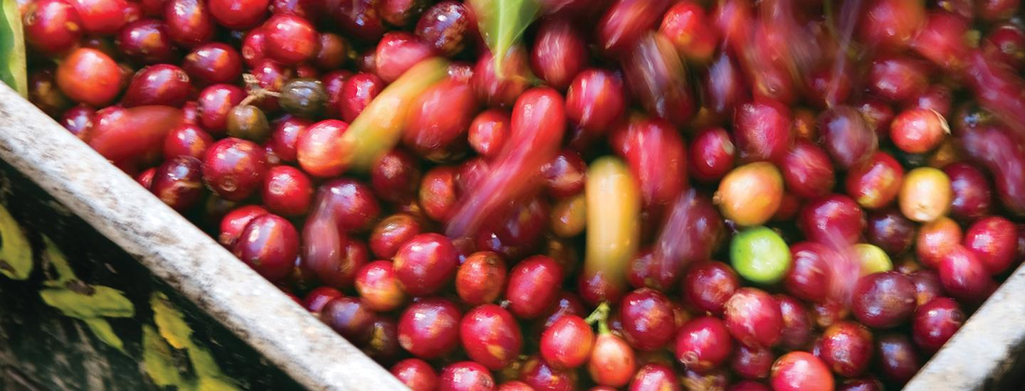 specialty coffee cherries