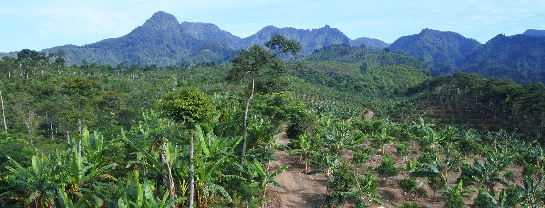 indonesian coffee farm
