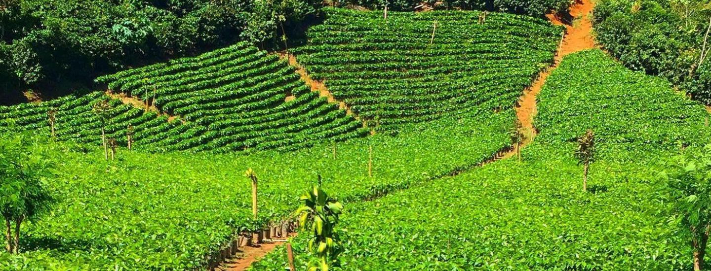 Why Ethically Sourced Tea Matters showing tea fields
